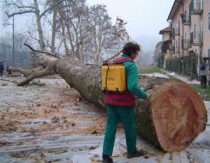 No all'abbattimento degli alberi monumentali di Nola!